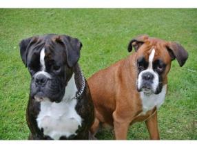 Pension pour deux chiens